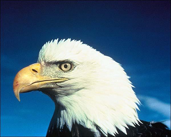 American Bald Eagle Alaska Wildlife Photo Print for Sale