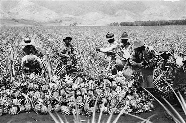 Hawaii Pineapple Plantation Harvest 1910 Photo Print for Sale