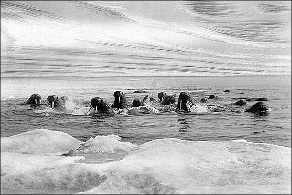 Walrus & Bering Sea Northwest Alaska Photo Print for Sale