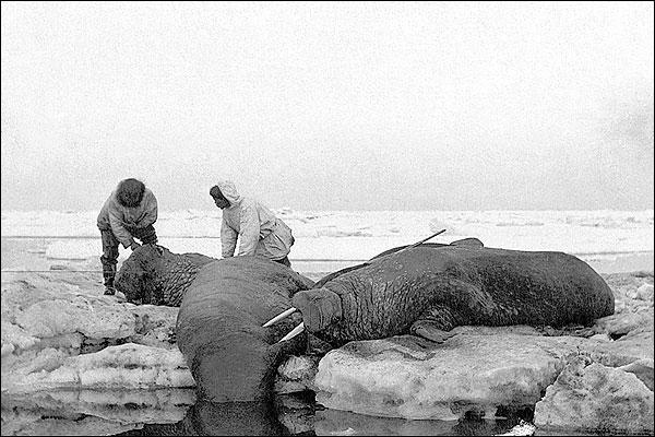 Walrus Hunting in Bering Sea 1909 Siberia Photo Print for Sale