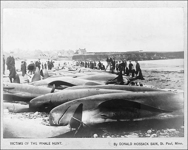 Dead Whales on Beach after Hunt 1900 Photo Print for Sale