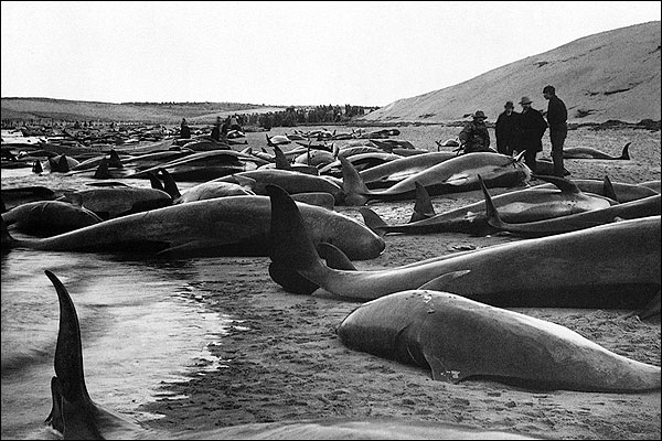 Beached Pilot Whales Cape Cod 1885 Photo Print for Sale