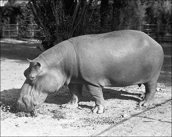 African Hippopotamus Hippo, Africa Photo Print for Sale