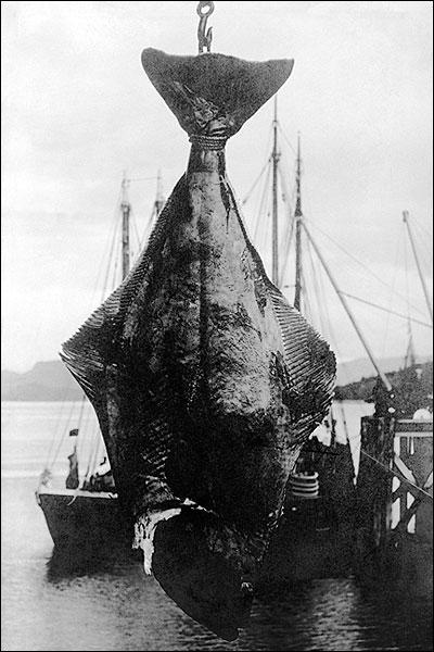 Alaska Fishing 200 lb. Halibut Fish 1900s Photo Print for Sale