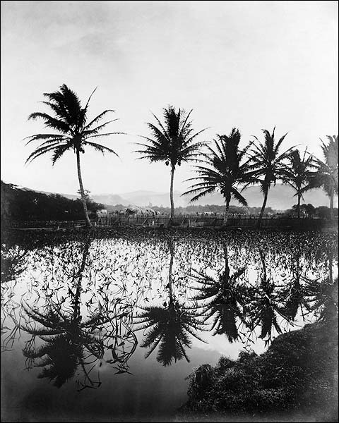 Taro & Coconut Grove, Hawaiian Islands Photo Print for Sale