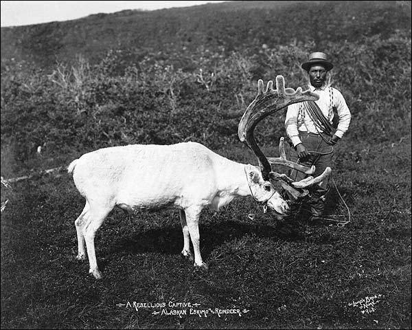 Eskimo & Captured Reindeer, Nome, Alaska Photo Print for Sale