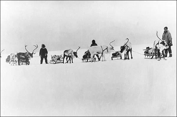 Reindeer, Sleds & Drivers Alaska 1900 Photo Print for Sale
