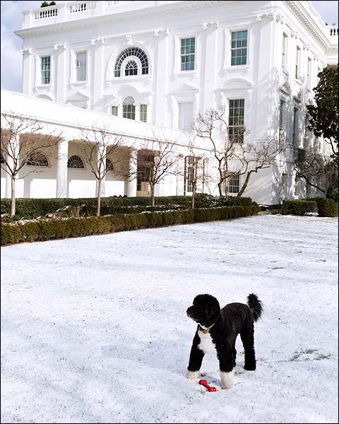Obama Family Dog Bo in Rose Garden Snow Photo Print for Sale